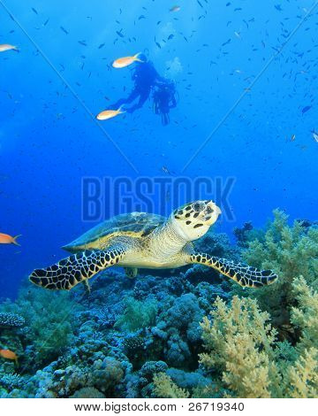 Hawksbill Turtle with scuba divers silouetted in background
