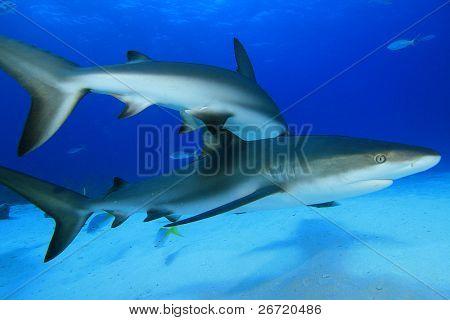 Reef Sharks (Carcharhinus)
