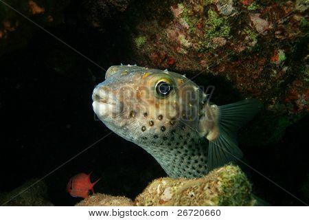 Yellowspotted Burrfish (Cyclithys spilostylus)