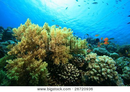 Soft Coral (Nephtheidae) on a reef in the Red Sea poster
