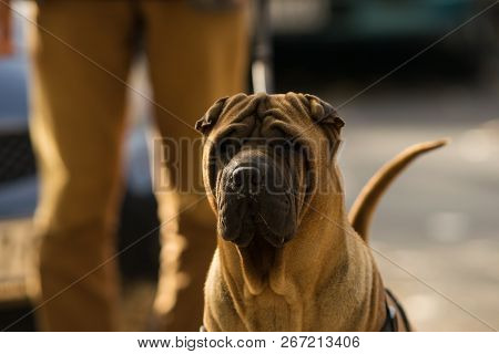 Man Walking Out The Dog. City Lifestyle. Man Walking Out Shar Pei Dog.lifestyle In The City. Everyda