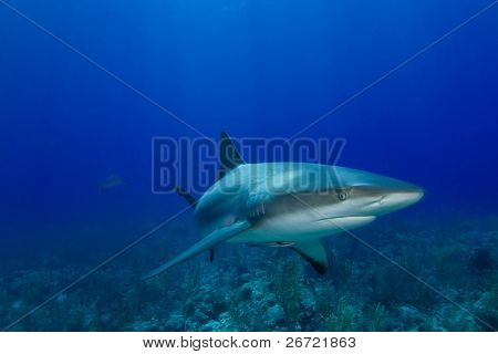 Caribbean Reef Shark (Carcharhinus perezii) with another shark in the distant background