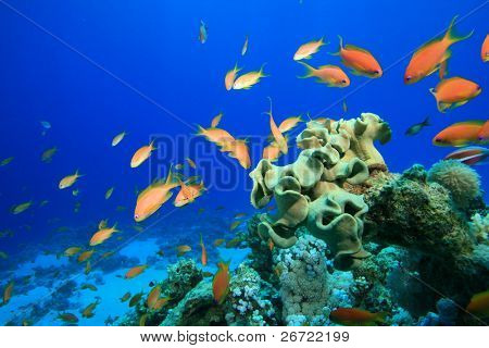 Coral Reef and Lyretail Anthias in the Red Sea