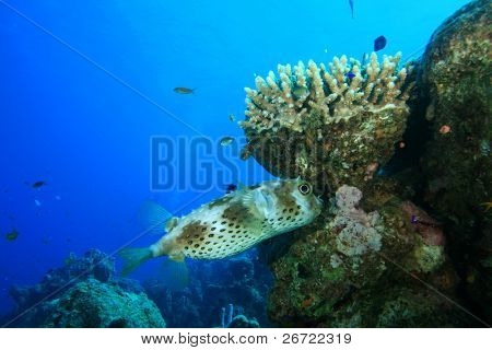 Yellowspotted Burrfish (Cyclichthys spilostylus)