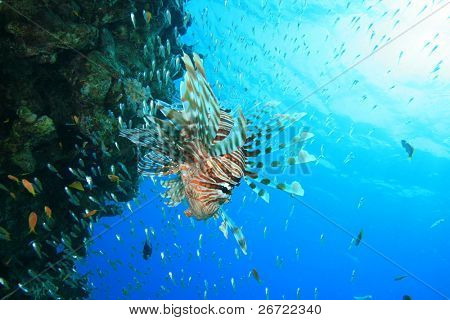 Lionfish hunting fish fry