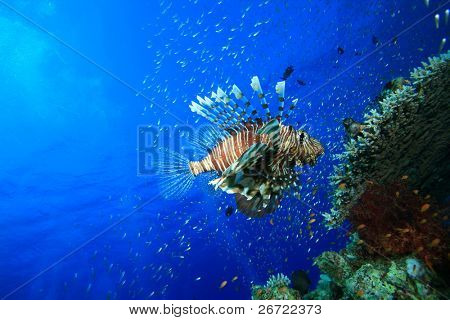 Lionfish hover over a coral reef