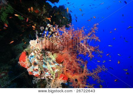 Lionfish in colorful soft coral