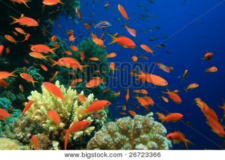 Lyretail Anthias on coral reef