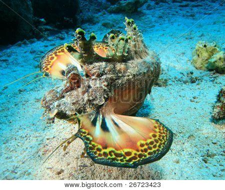 Filamented Devilfish (also known as Red Sea Walkman) (Inimicus filamentosus)