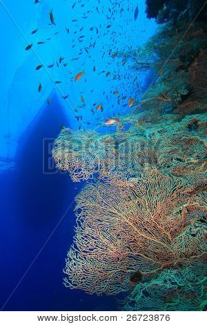 Gorgonian Fan Corals with Liveaboard Dive Boat moored above