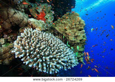 Acropora and Porites corals