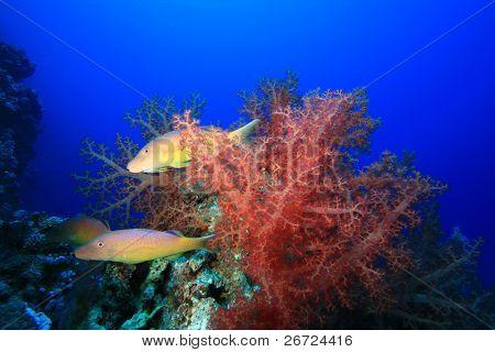 Yellowsaddle Goatfish hunting amongst colorful Soft Corals poster