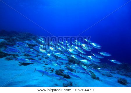 Shoal of mackerel