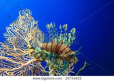 Lionfish beside Gorgonian Fan Coral