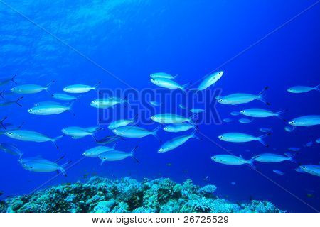 Shoal of Fusilier Fish above a tropical coral reef