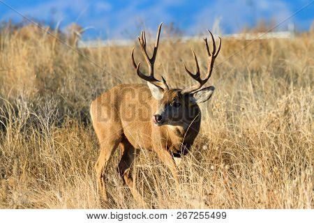 Mule Deer Buck - Wild Deer In The Colorado Great Outdoors