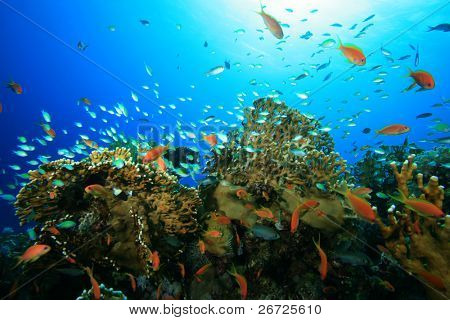 Beautiful Tropical Fish on a Coral Reef
