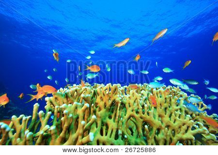 Beautiful Coral Reef with Anthias and Damselfishes
