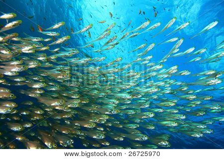 Shoal of Glassfish (Sweeper Fish) poster