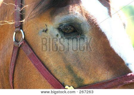 Mennonite Horse