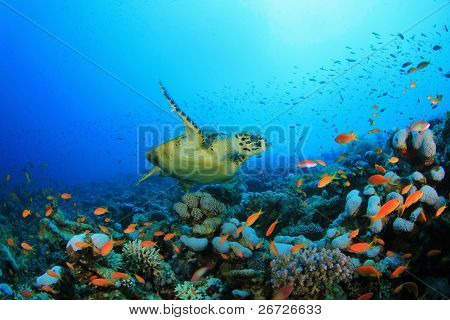 Hawksbill Sea turtle (Eretmochelys imbricata) swims over coral reef