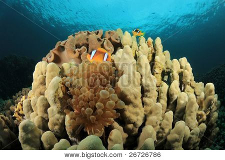 Bubble Anemone and Clownfish on a coral pinnacle