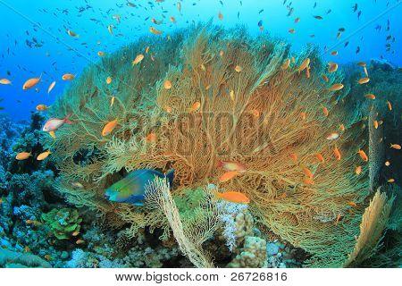 Giant Sea Fan Coral (Annella mollis) poster