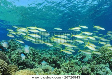 School of Fish: Yellowfin Goatfish on Coral Reef poster
