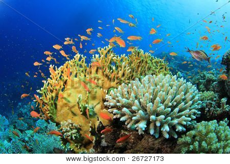 Lyretail Anthias fish and Hard Corals on a reef in the Red Sea