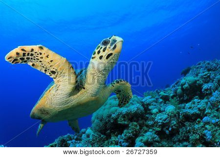 Hawksbill Sea Turtle swims over coral reef in the Red Sea, Egypt