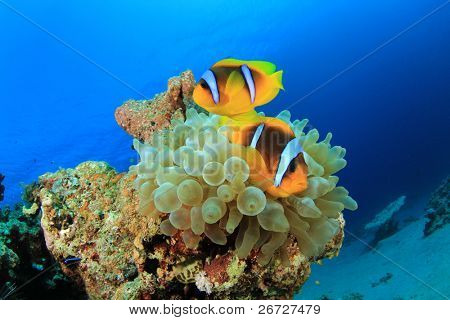 Tropical Fish: Red Sea Anemonefish (Amphiprion bicinctus), also known as Clownfish, in a Bubble Anemone