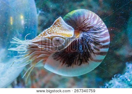 Rare Tropical Marine Life Portrait Of A Nautilus Cephalopod A Living Shell Fossil Underwater Sea Ani