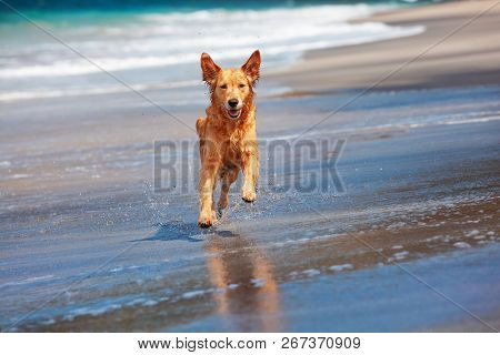 Photo Of Golden Retriever Walking On Sand Beach. Happy Dog Wet After Swimming Run With Water Splashe