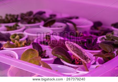 Cultivation Of Plants, Flowers With Red And Blue Leds. The Leds Provide Light That Plants Need To Gr