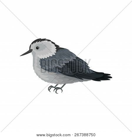 Flat vector icon of white-breasted nuthatch. Winter songbird with long beak. Small feathered creature. Ornithology theme poster