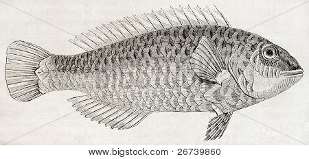 Old illustration of Parrotfish (Sparisoma cretense) that lives close to the shore in Crete. By unidentified author, published on Magasin Pittoresque, Paris, 1850