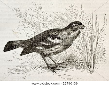Old illustration of Rufous-tailed Plantcutter (Phytotoma rara). Created by Kretschmer and Wendt, published on Merveilles de la Nature, Bailliere et fils, Paris, 1878