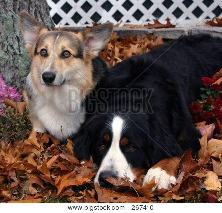 Corgi And Bernese Mountain Dog