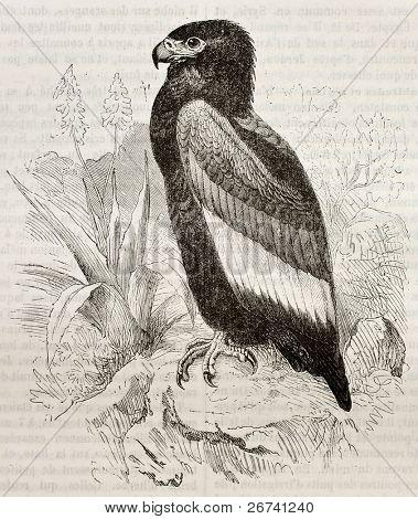 Old illustration of Bateleur (Terathopius ecaudatus). Created by Kretschmer and Wendt, published on Merveilles de la Nature, Bailliere et fils, Paris, 1878