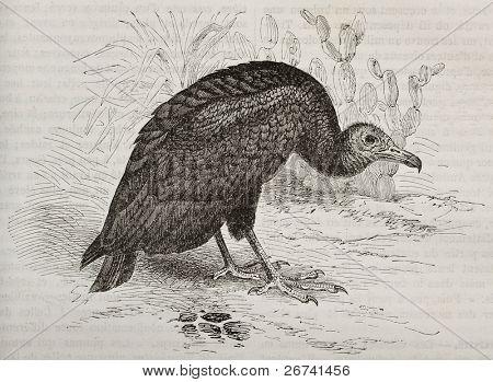 Old illustration of Turkey Vulture (Cathartes aura). Created by Kretschmer and Illner, published on Merveilles de la Nature, Bailliere et fils, Paris, 1878
