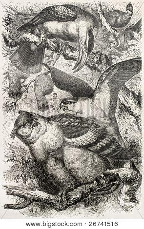 Greyish Eagle-owl old illustration (Bubo cinerascens) and other birds. Created by Kretschmer, published on Merveilles de la Nature, Bailliere et fils, Paris, 1878