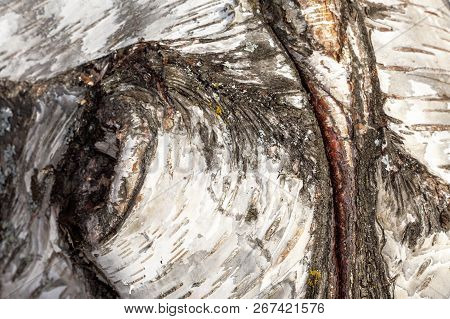 Closeup, Macro Of An Old Birch Tree, The Trunk. Rustic Texture.