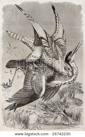 Gyrfalcon old illustration (Falco rusticolus). Created by Kretschmer and Wendt, published on Merveilles de la Nature, Bailliere et fils, Paris, 1878