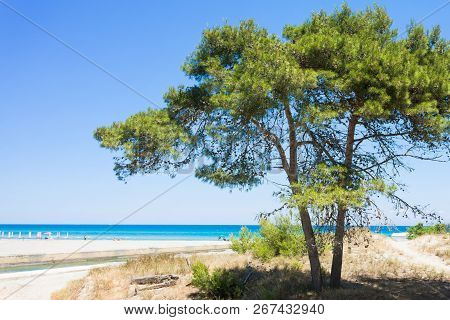 Alimini Grande, Apulia, Italy - A Fir Tree At The Beach Of Alimini Grande