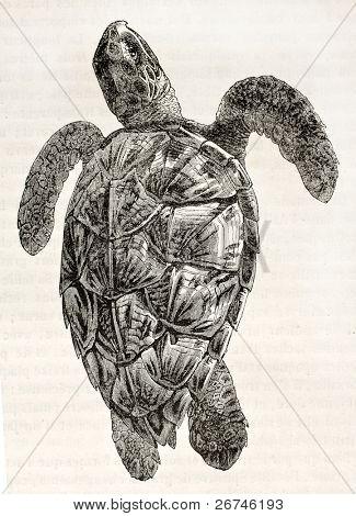 Loggerhead sea turtle old illustration (Caretta caretta). By unidentified author, published on Magasin Pittoresque, Paris, 1844