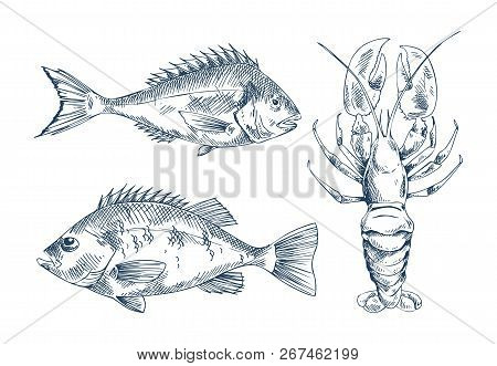 Seafood And Fish Vector Engraving Illustration. Bream And Bass And Lobster Graphics Isolated On Whit