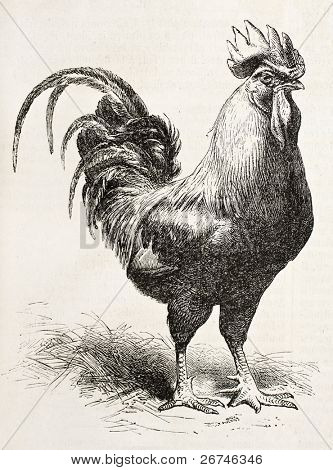 Dorking Huhn alte Abbildung. erstellt von Jacque und Lavieille, veröffentlicht am l ' Illustration, jour