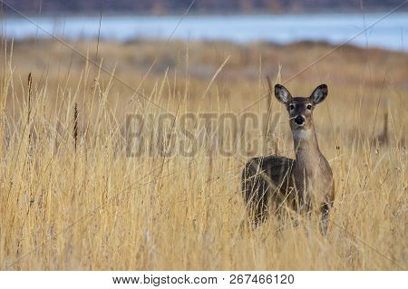 Wild Deer In The Colorado Great Outdoors - White-tailed Doe In Tall Grass