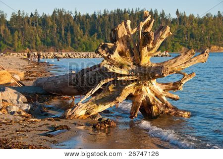 Overturned tree root in water at sunset.