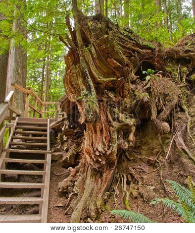 Stairs through huge roots on Baden-Powell Trail, North Vancouver, Canada.
